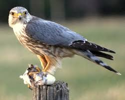Which British bird-of-prey (raptor) was used to entertain humans in a sport where it had to chase and catch skylarks?