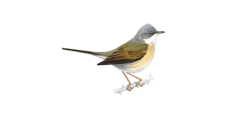 2. The Migrant Whitethroat (known as the nettle-creeper or hay chat in certain parts of Britain)