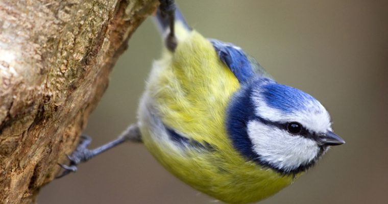 "6. The blue tit (""tit"" derived from the Old Norse word meaning tiny)"