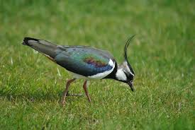 Which British bird Required a UK Law to Stop it Being Eaten as a Countryside Delicacy and its Eggs taken for Cooking?