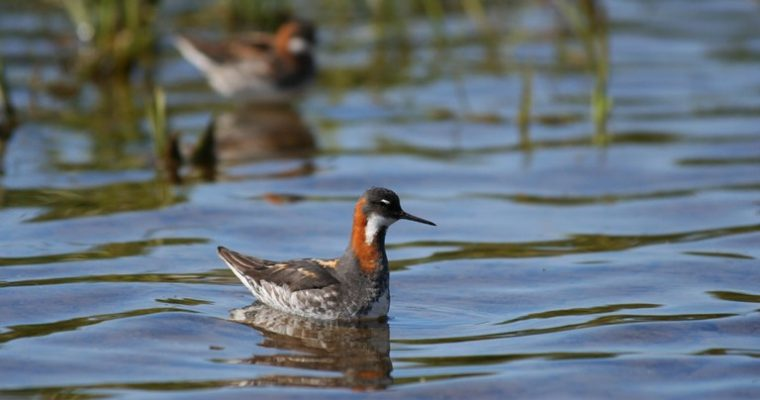 5. The red-necked phalarope (known as the peerie (small) duck in the Shetland Isles, and a species where the matriarch is the dominant sex)