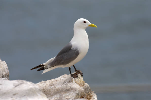 "Which species of large Atlantic gull is sometimes nicknamed the ""minister"" or ""coffin-bearer"", presumably because of the color of its plumage?"