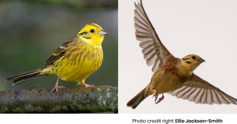 Which British bird is supposed to have influenced the opening notes of Beethoven's Fifth Symphony, and is the name given to Alabama's state bird?
