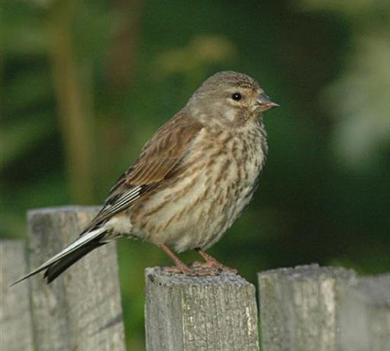 Eurasian Linnet Female