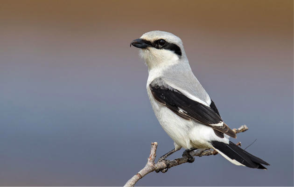 US Northern Shrike
