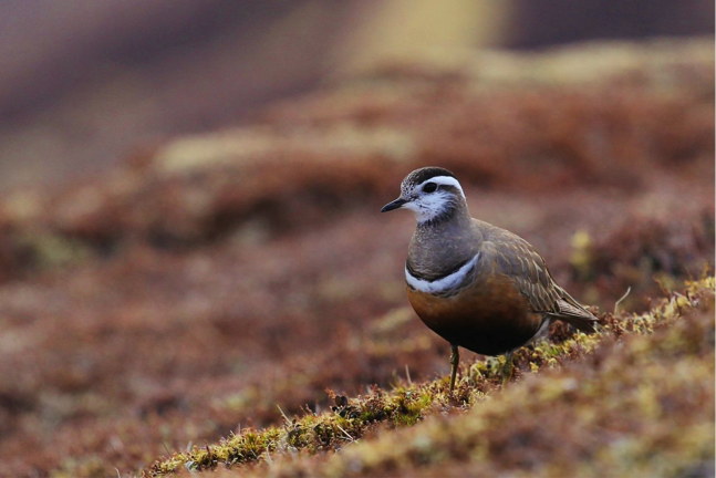 Dotterel, a small plover, and a word in Britain used to describe a person easily deceived, stupid or gullible; why?