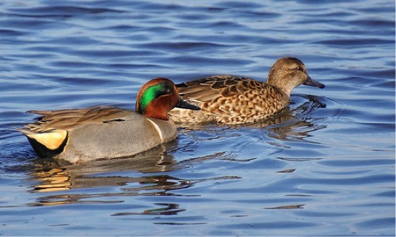 American green winged teal male and female
