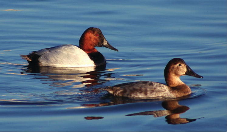 Canvasback male and female