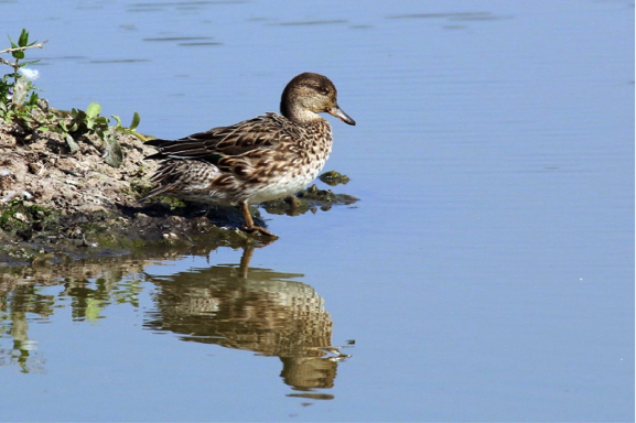 Eurasian Common Teal Female