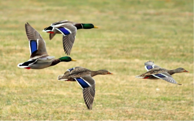 Mallard male and female