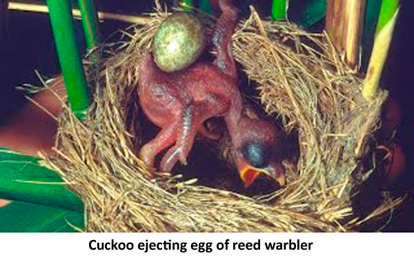 cuckoo bird ejecting egg of reed warbler