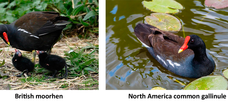 Waterhen, Moorhen or Gallinule – Which is It?