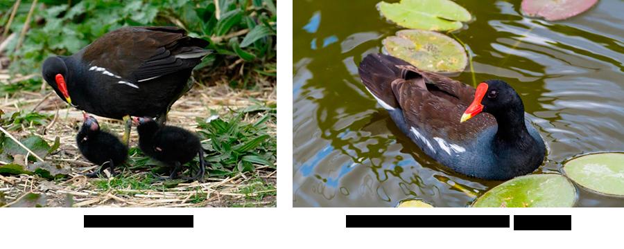 Waterhen, Moorhen or Gallinule – Which is It?