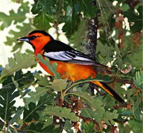 Bullock's oriole, one of the most beautiful birds