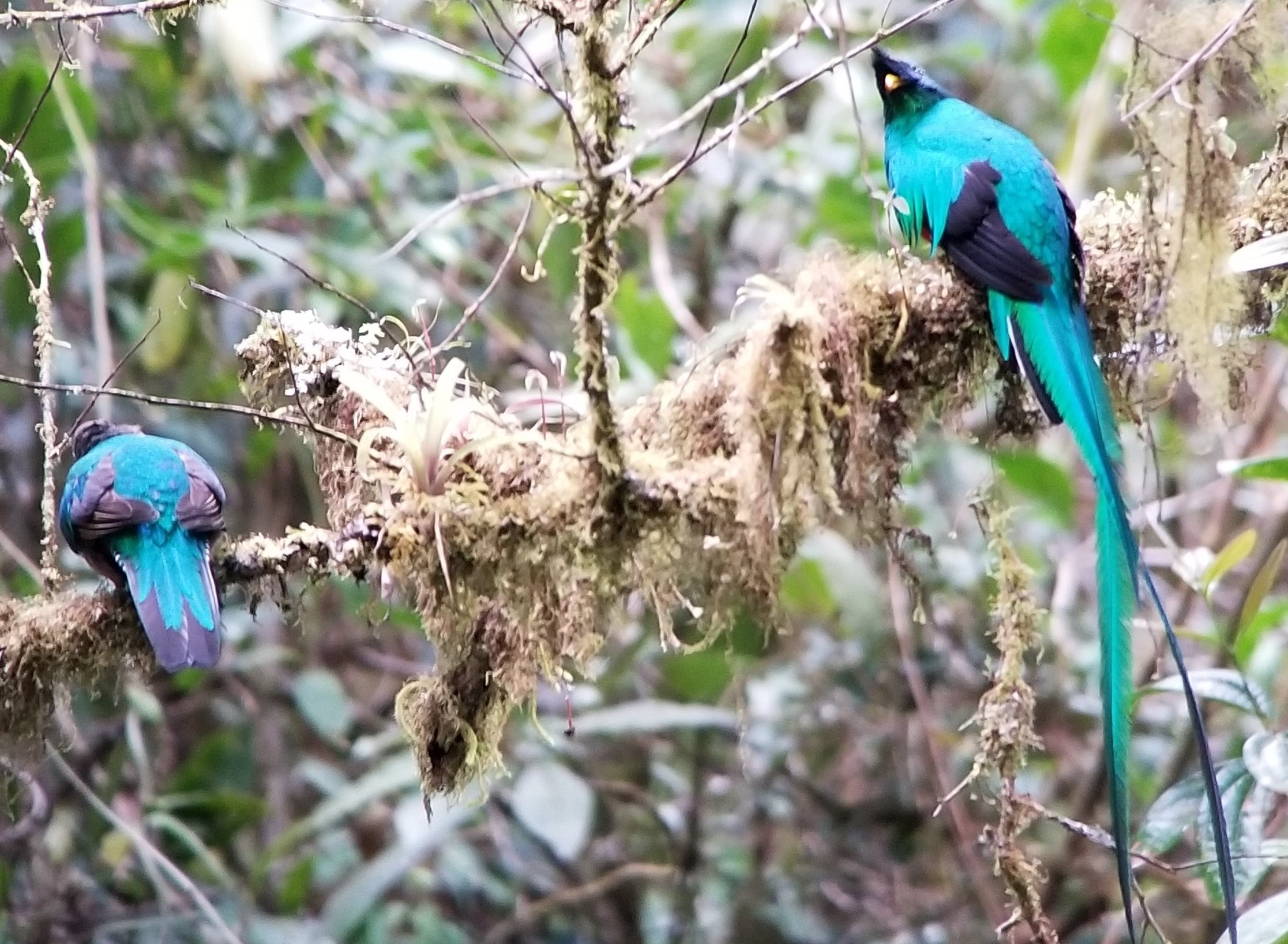 quetzels, one of the most beautiful birds