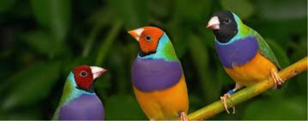 gouldian finch, one of the most beautiful birds