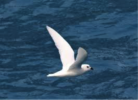 Snow Petrel, one of the most beautiful birds