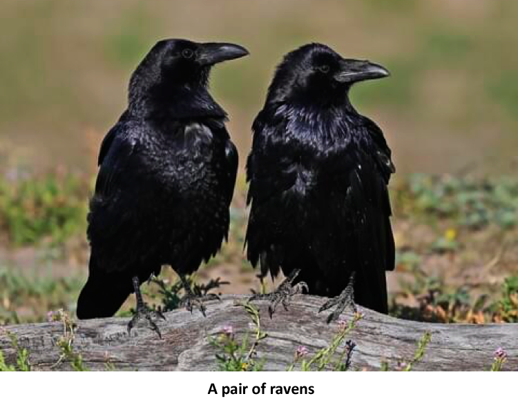 Two Crows: A Pair of Ravens