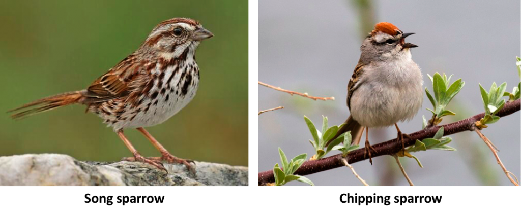 Song and Chipping Sparrows