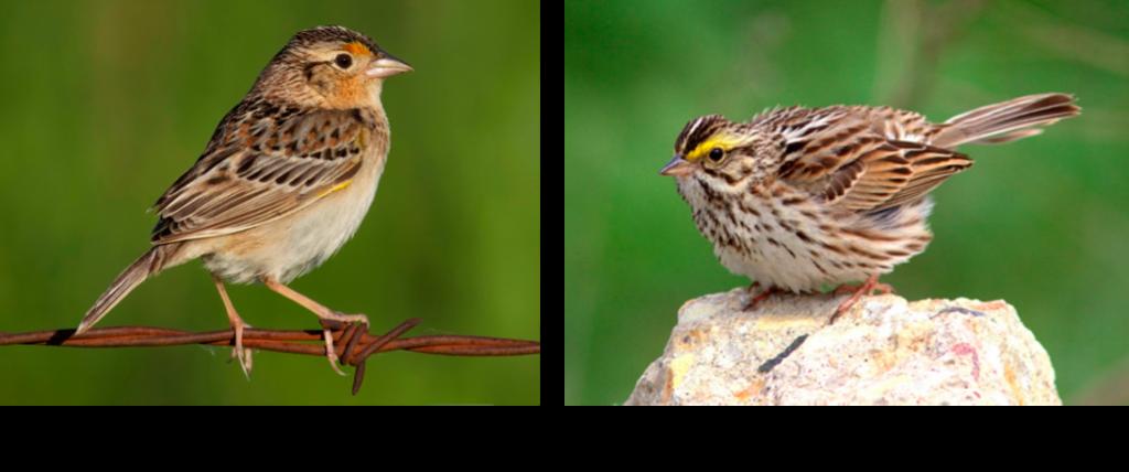 Grasshopper and Savannah Sparrows