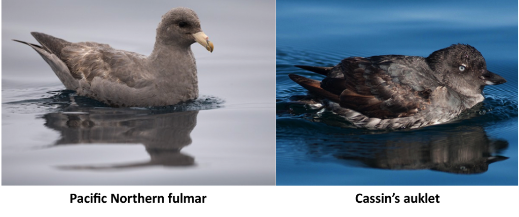 Pacific Norther Fulmar
