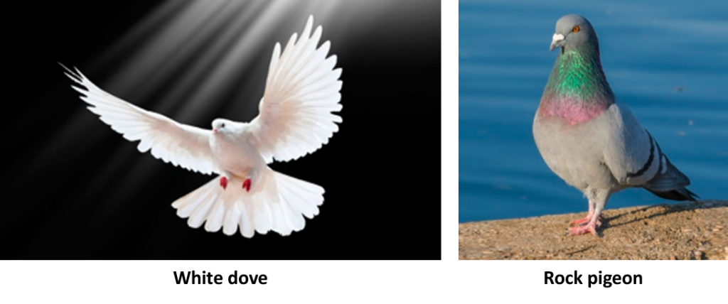 White Dove and Rock Pigeons
