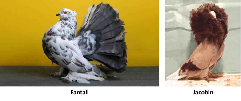 Fantail and Jacobin Pigeons
