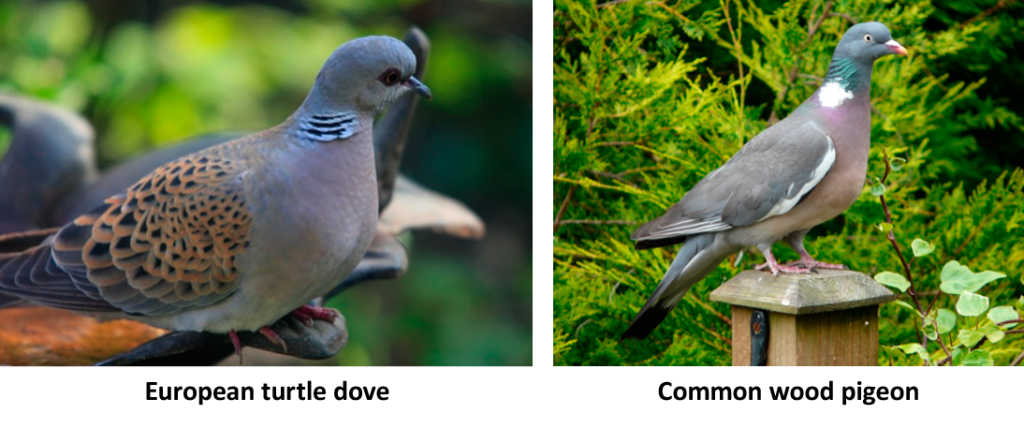 European Turtle Dove and Common Wood Pigeons