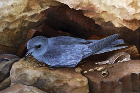 An ashy storm petrel, a pelagic bird