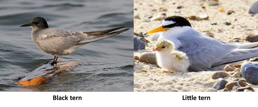Two Terns: Black Tern, Little Tern